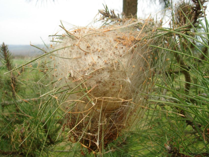 pine moths cocoon