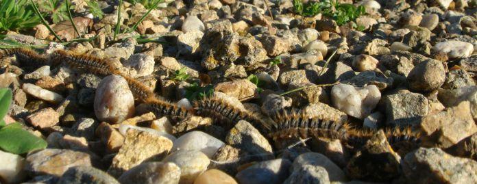 pine moths caterpillars